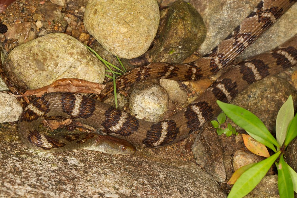 Diamond-back Water Snake - Sinonatrix aequifasciata