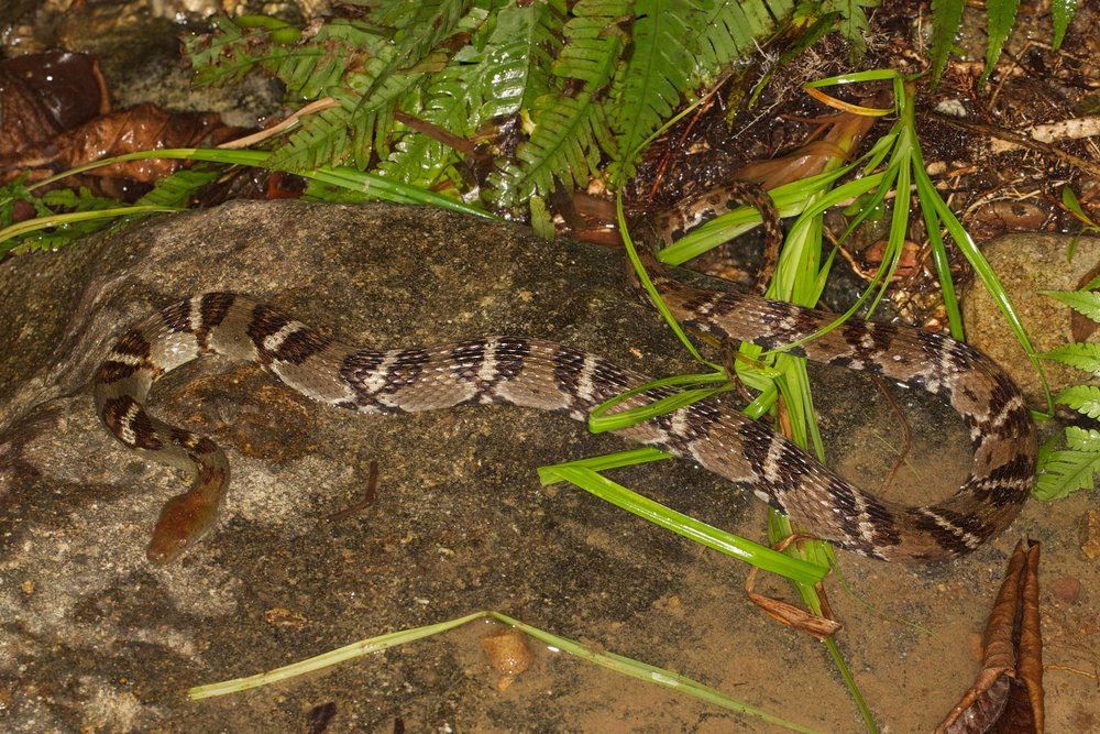 Diamond-back Water Snake - Sinonatrix aequifasciata