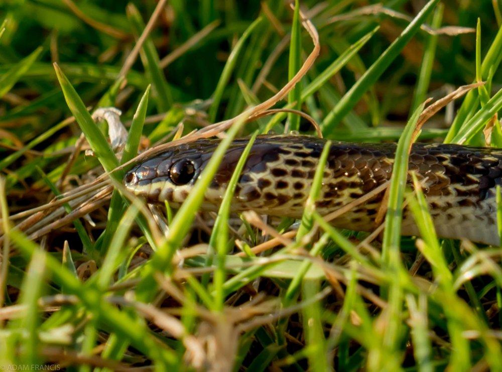 Common Wolf Snake - Lycodon capucinus