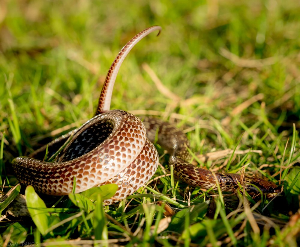 Common Wolf Snake - Lycodon capucinus
