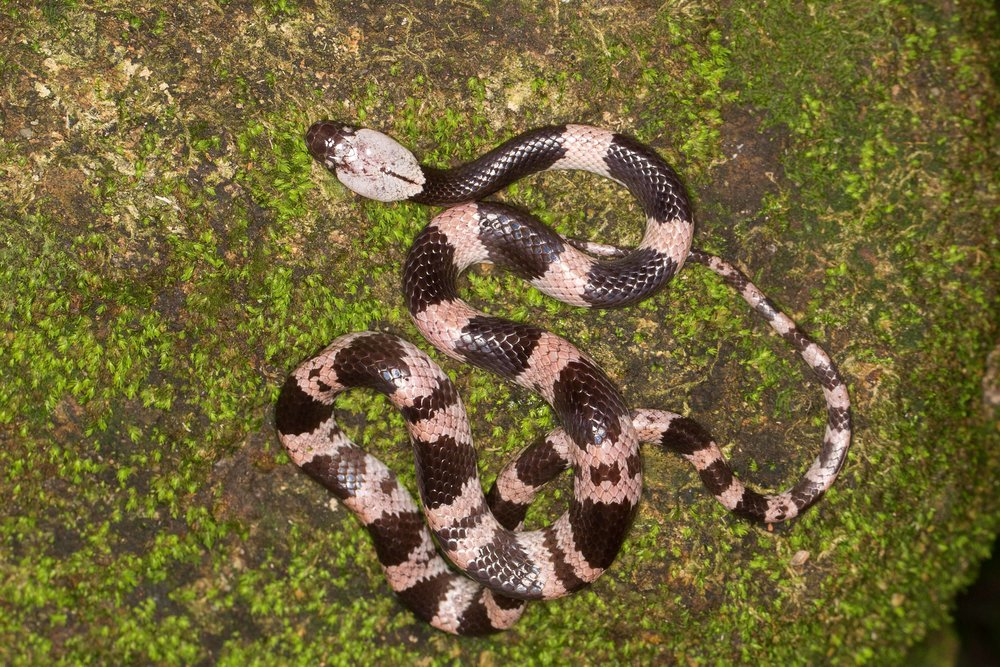 Copy of Futsing Wolf Snake - Juvenile