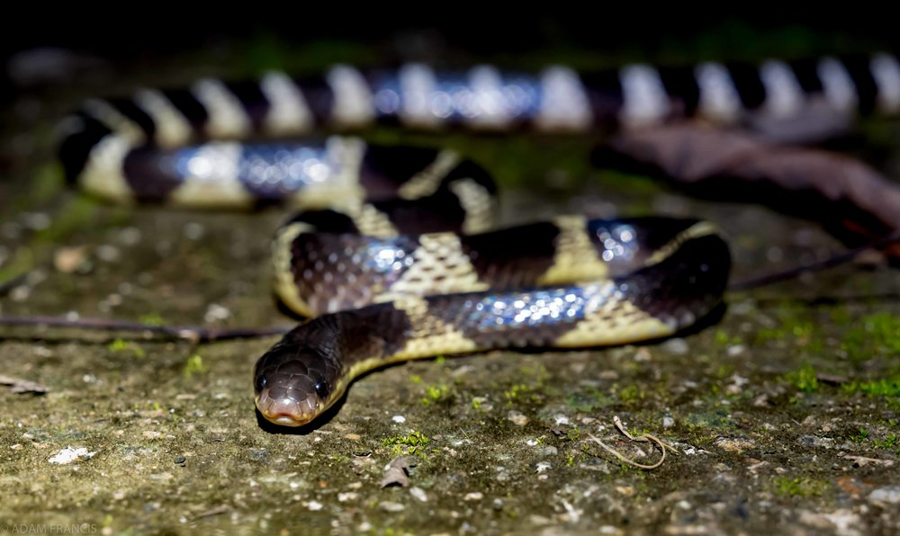 Copy of Many Banded Krait - Yellow Coloration