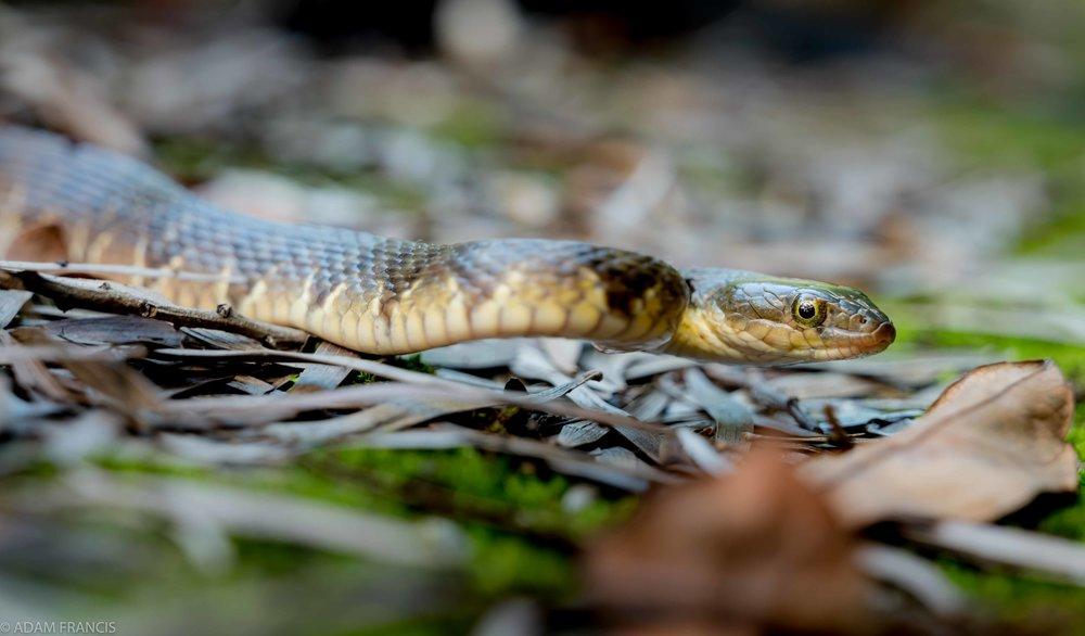 Mountain Water Snake