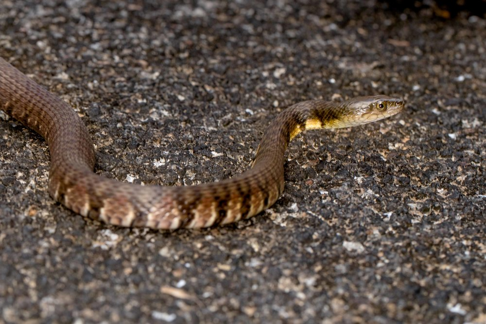 Mountain Water Snake - Sinonatrix percarinata percarinata