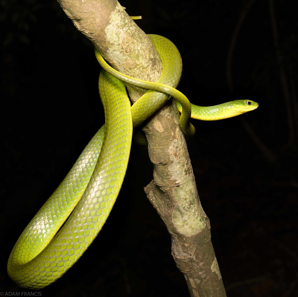 Copy of Greater Green Snake