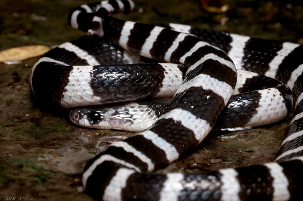 Copy of Many Banded Krait - Juvenile