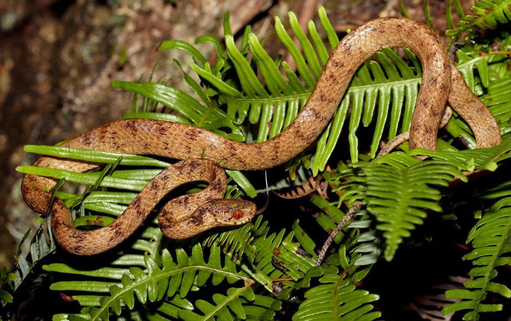 Chinese Slug Snake - Pareas chinensis