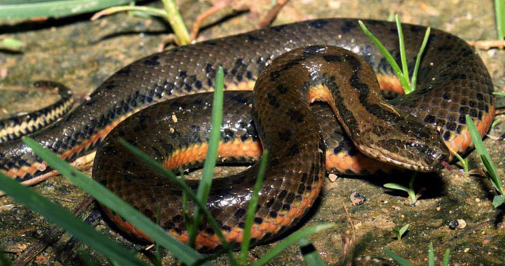 Chinese Water Snake - Enhydris chinensis