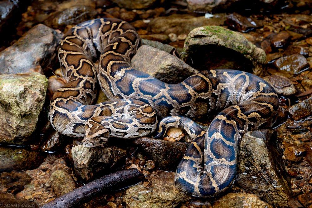 Burmese Python - Python bivittatus