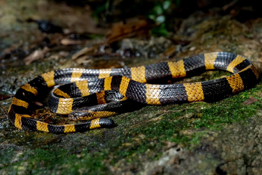 金腳帶/金環蛇