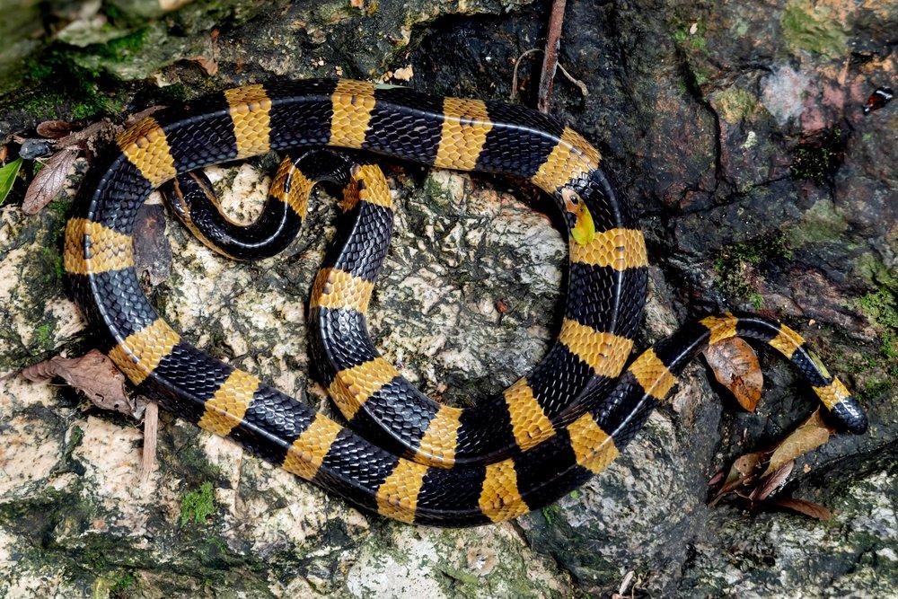 Banded Krait - Bungarus fasciatus