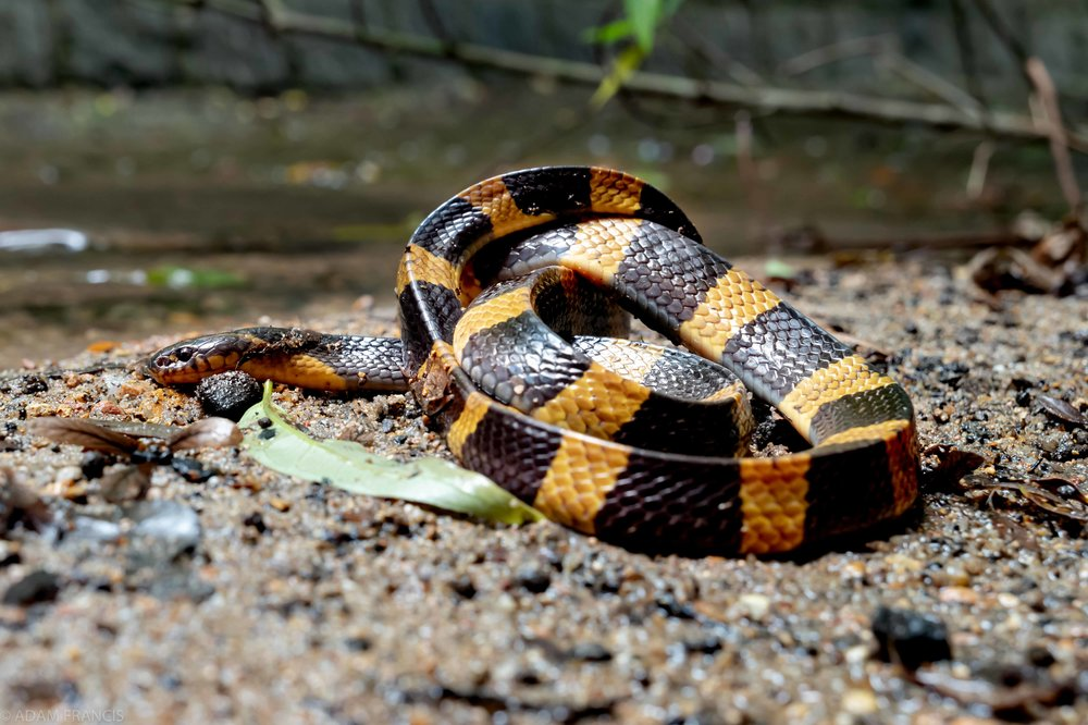Copy of Banded Krait
