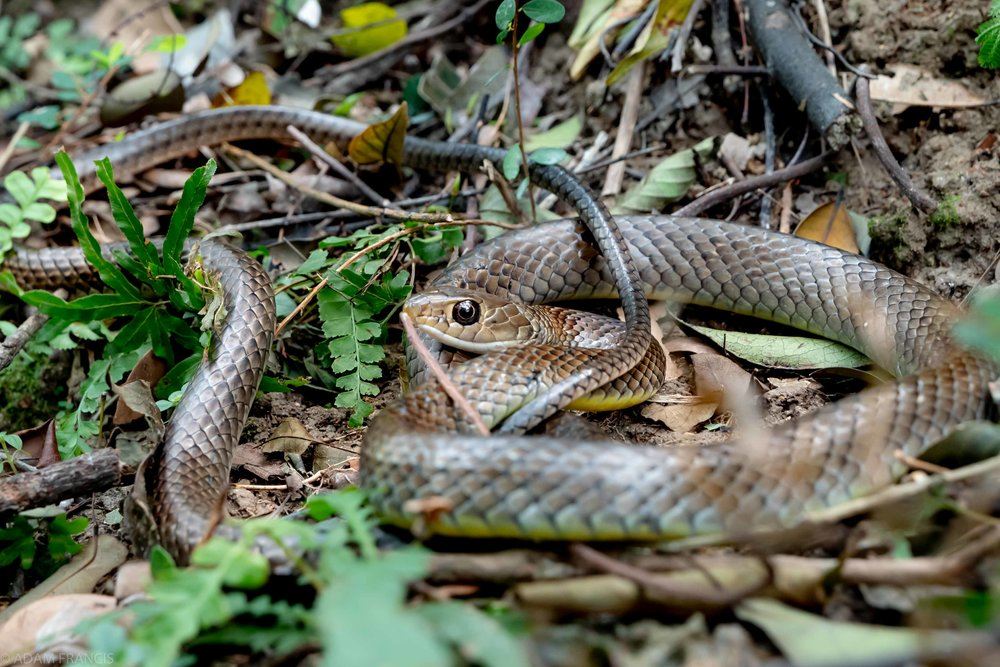 Copy of Indo Chinese Rat Snake