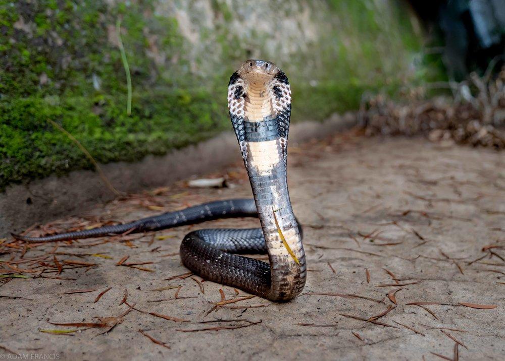 中華眼鏡蛇 - 飯鏟頭