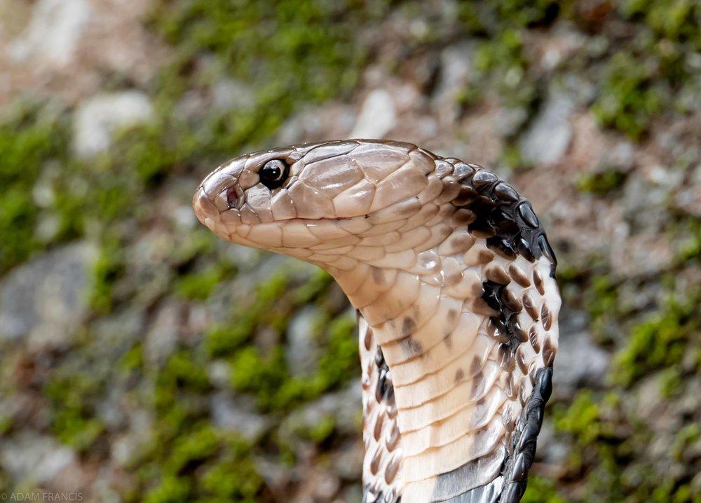 Chinese Cobra Naja atra-12.jpg