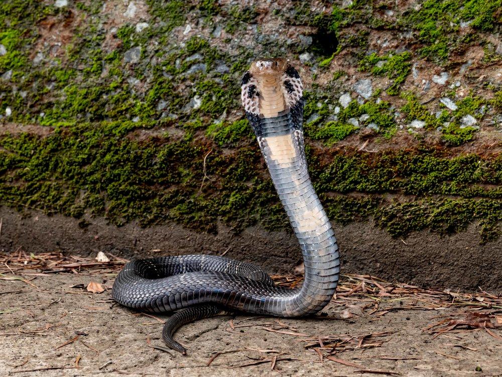 Chinese Cobra Naja atra-17.jpg