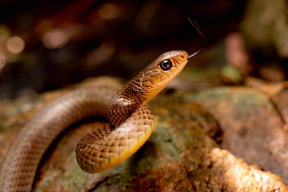 灰鼠蛇 - 過樹榕