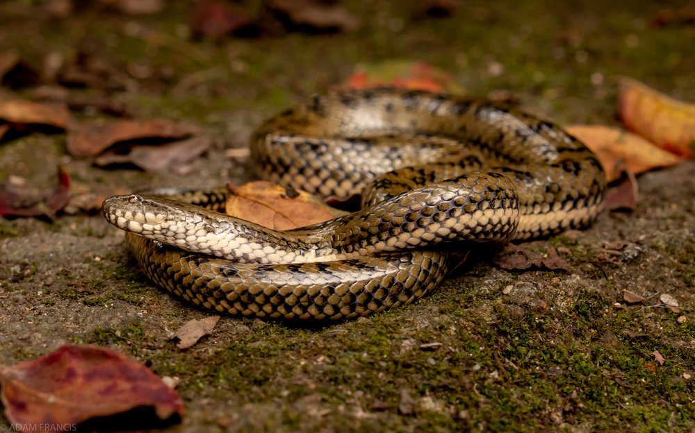 Copy of Mangrove Water Snake