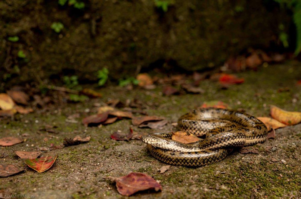 Mangrove Water Snake - Myrrophis bennettii
