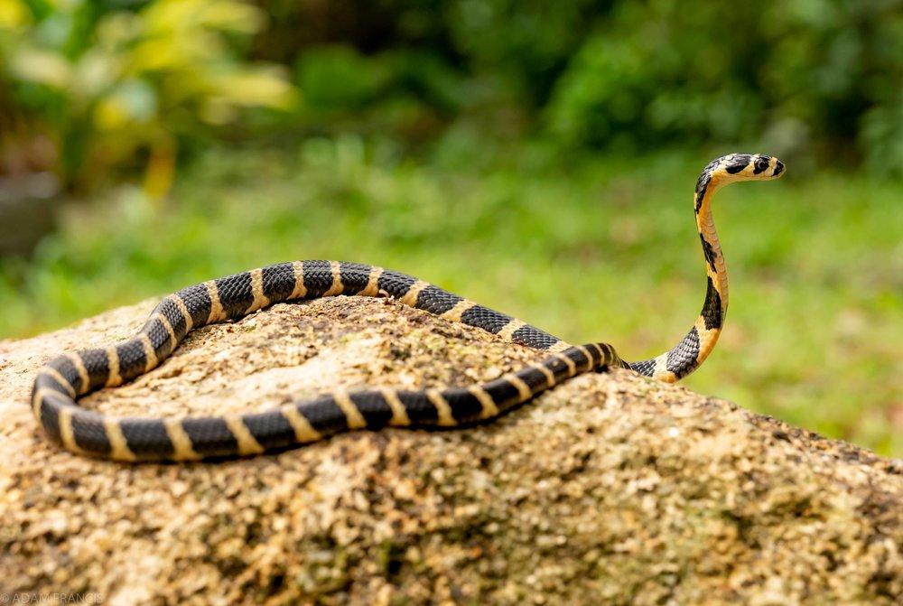 Copy of King Cobra - Juvenile
