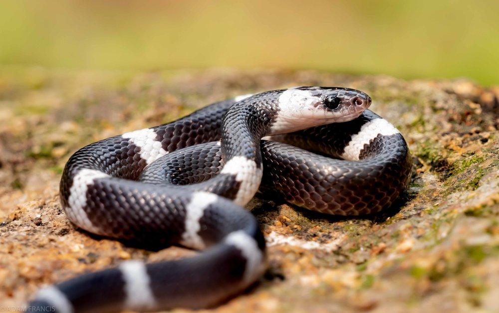 Banded Wolf Snake Lycodon subcinctus-3.jpg