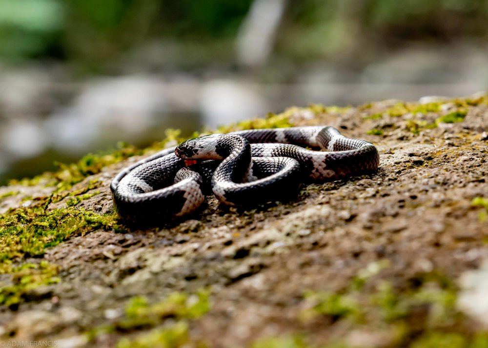 Banded Wolf Snake Lycodon subcinctus-11.jpg