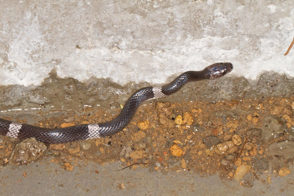 wolf snake sushingtwisk walk 15th may 10.jpg