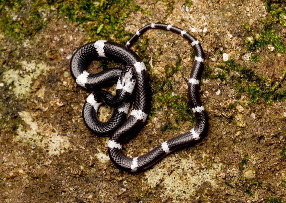Banded Wolf Snake - Lycodon subcinctus
