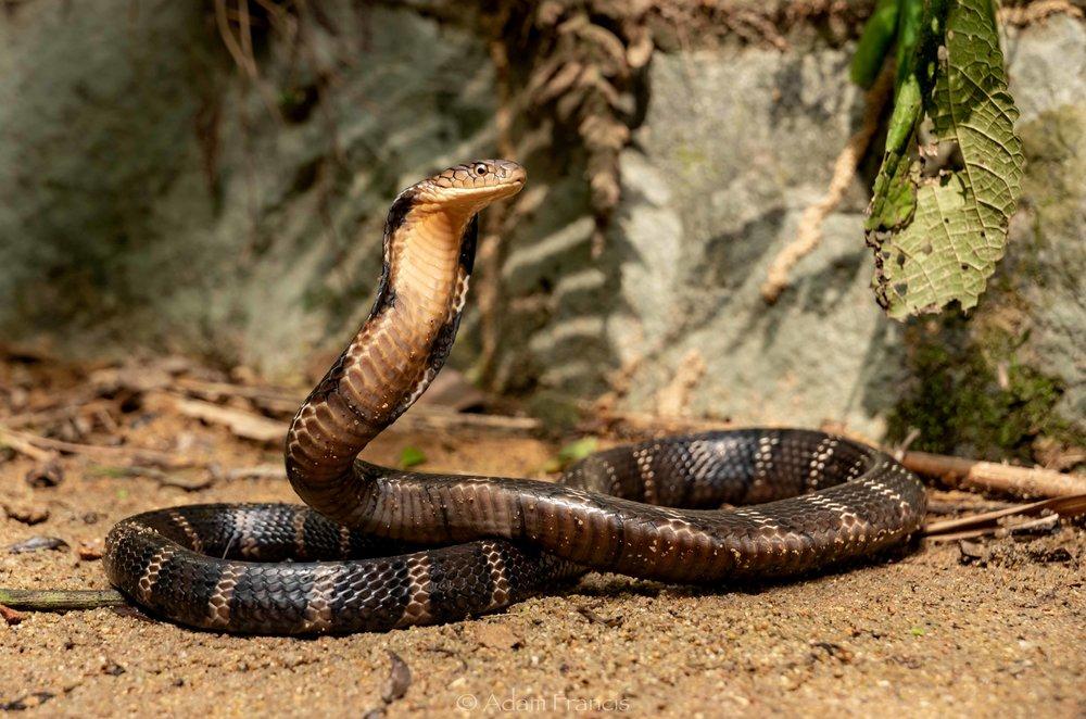 Subadult King Cobra