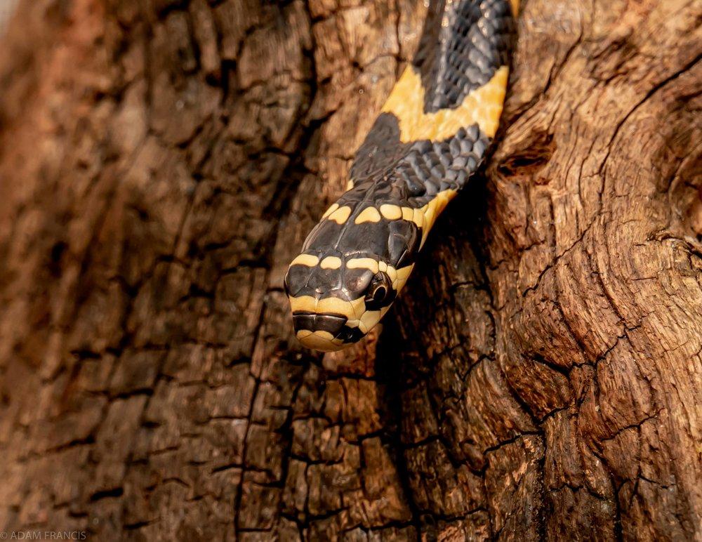 Juvenile King Cobra  Occipital (Head) Scales