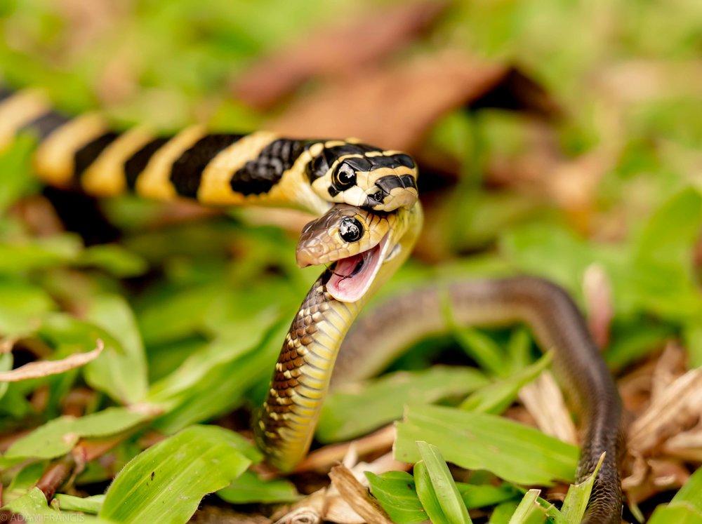 Juvenile King Cobra  Eating a  Juvenile Indo Chinese Rat Snake