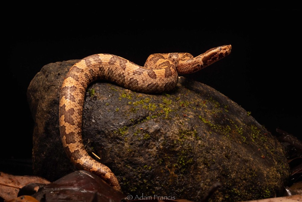 Mountain Pit Viper / Tonkin Pit Viper - Ovophis tonkinensis