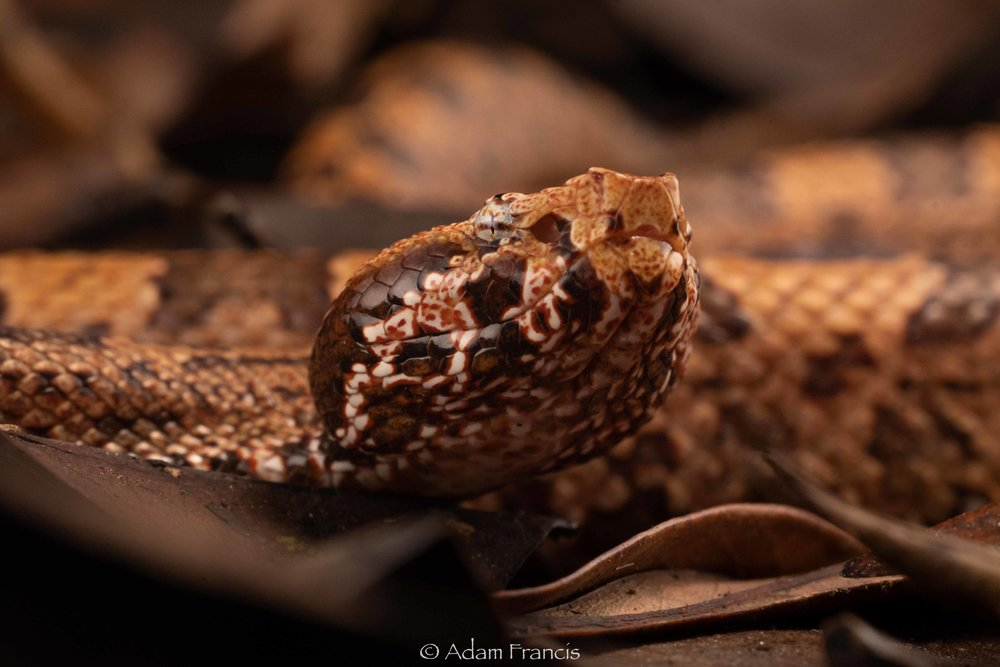 Mountain Pit Viper - Ovophis tonkinensis