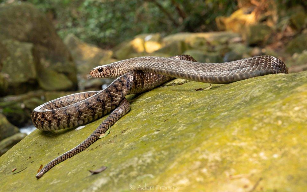Common Rat Snake - Ptyas mucosus