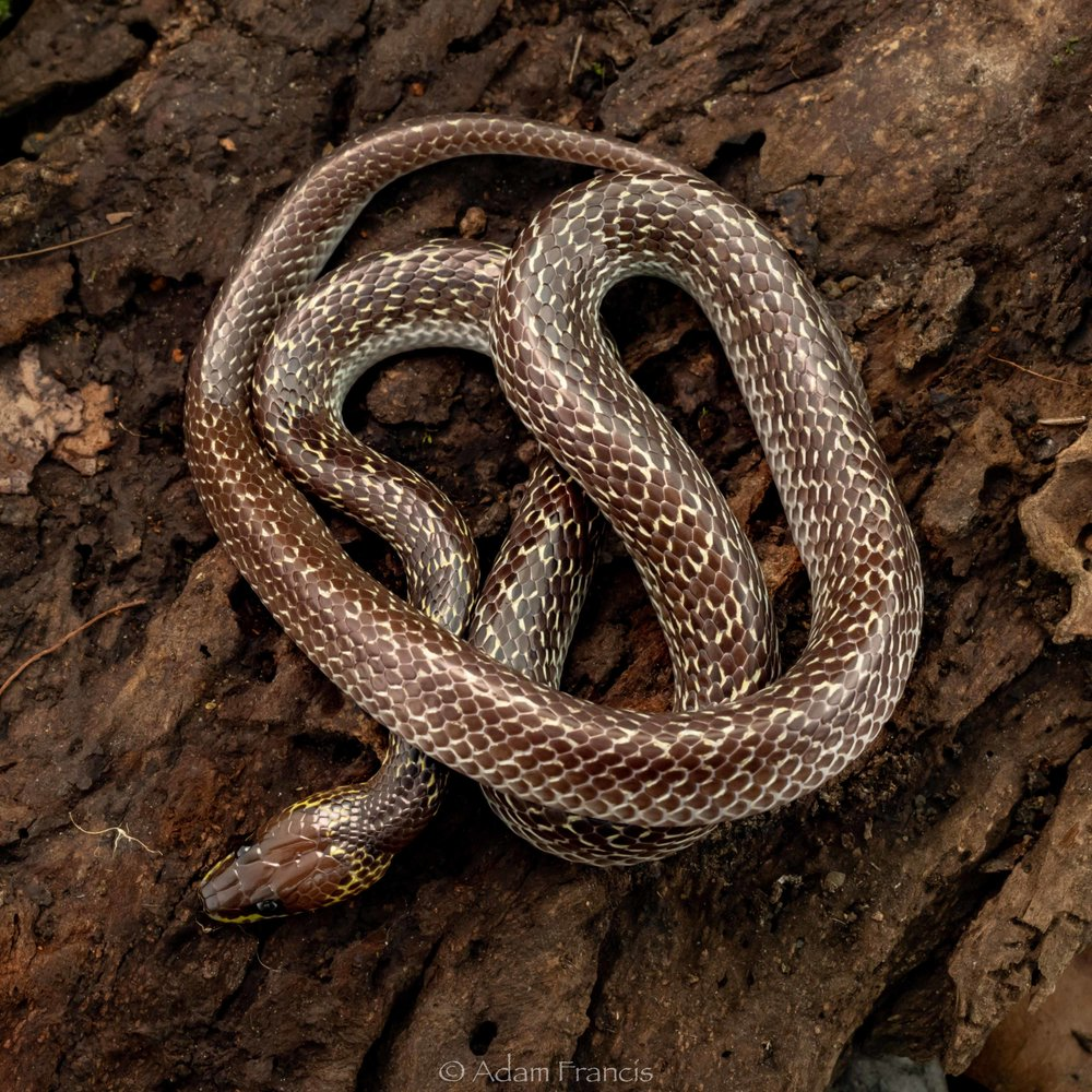 WOLF SNAKE - COMMON