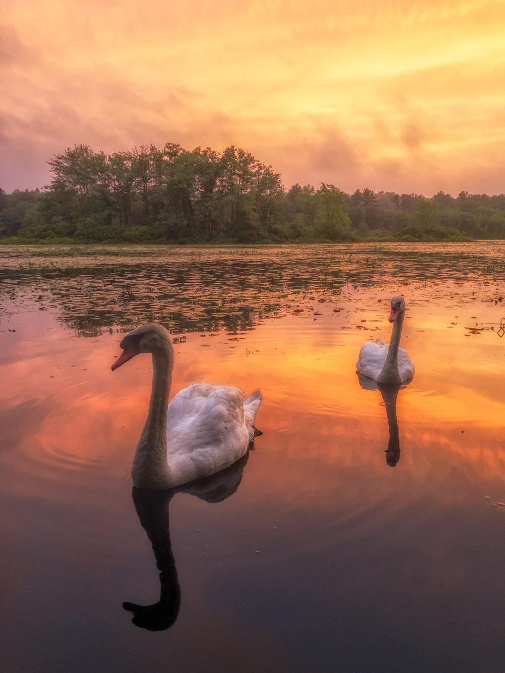 Will_Nourse_Meadowbrook Swans.jpg