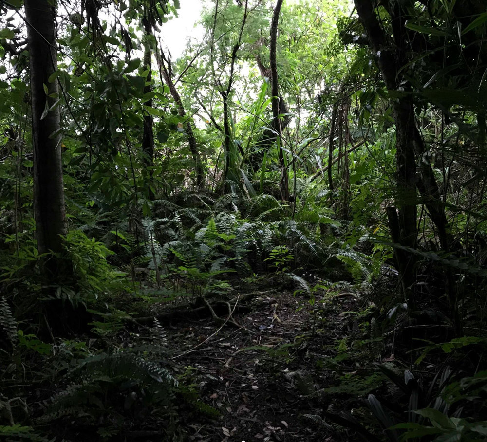 A segment of walking trail, girted by various species of vines and ferns.