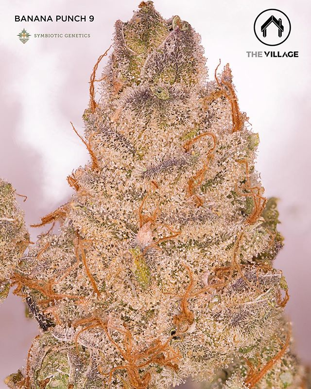 🌴 Banana Punch 9 grown by @_thevillage & bred by @symbioticgenetics is now available here at @sscc_mmj! 🌴