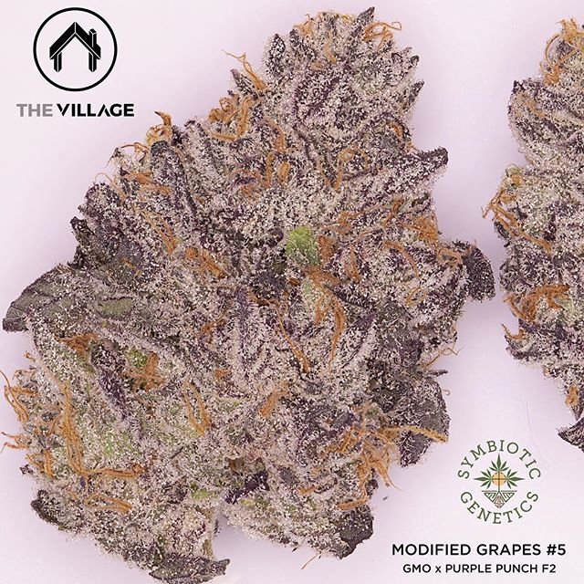 Modified Grapes #5 bred by @symbioticgenetics You will be seeing lots of her in 2019! She reeks of lemon pinesol, chem and gas with hints of sweetness  #_thevillage x #budologist420 #symbioticgenetics #modifedgrapes #gmo x #purplepunchf2 Photo by @epicmeds #ultrakerosene