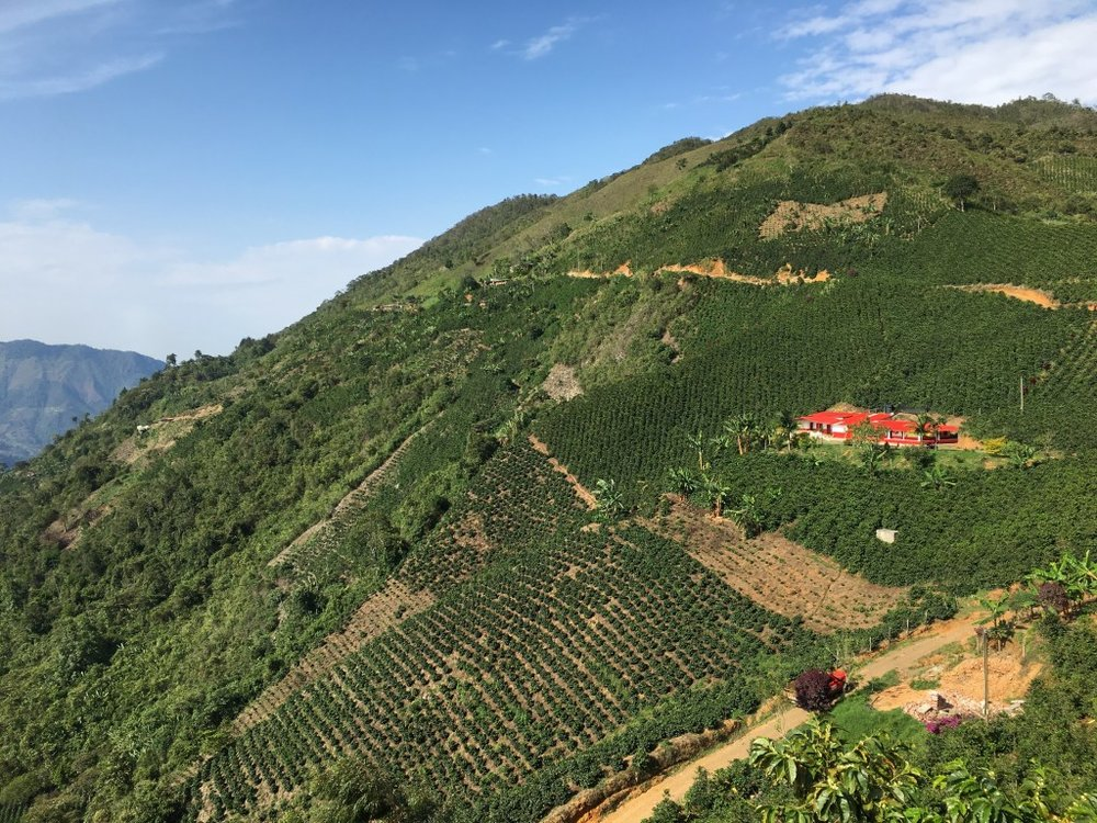 Coffee plantations outside of Concordia
