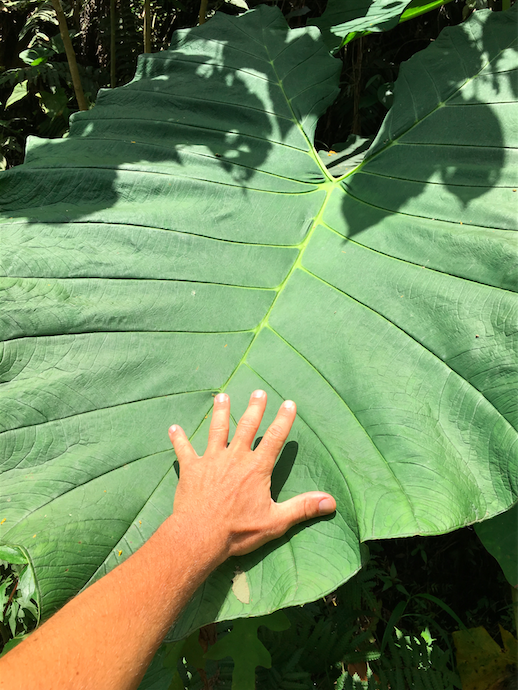 Big green plant in Colombia