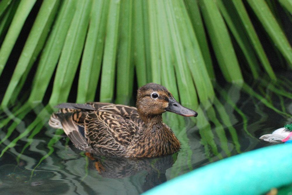 Hawaiian Duck/Koloa Maoli