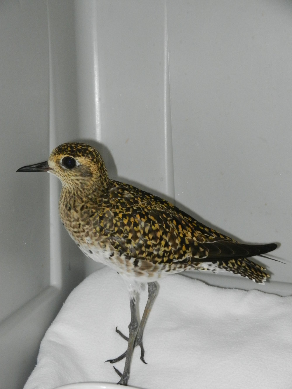 Pacific Golden Plover/Kolea