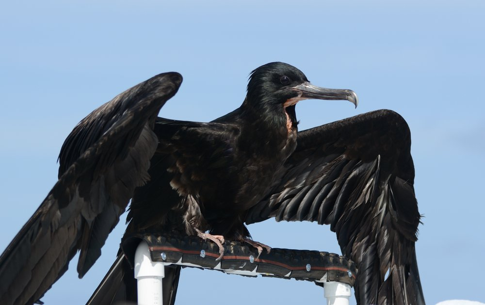 Great Frigatebird/ʻIwa
