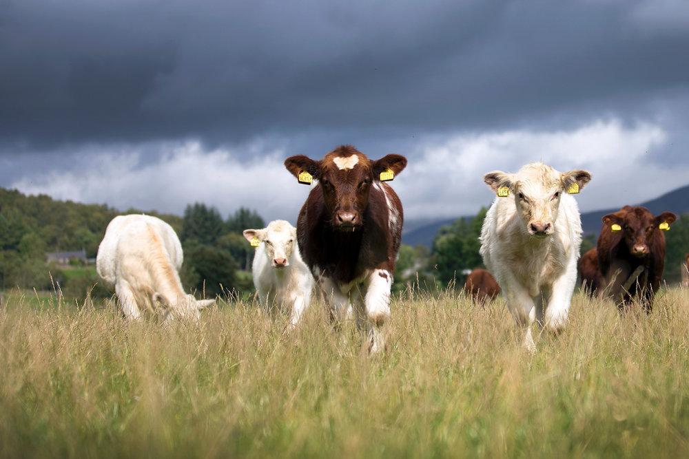 beef-shorthorns-glenisla-2067.jpg