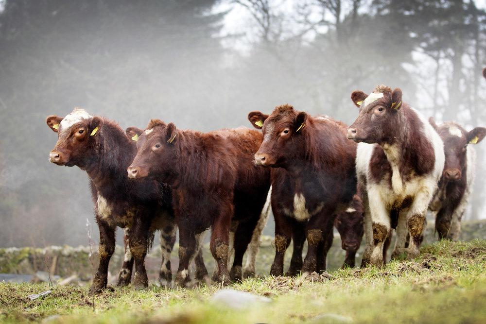 beef-shorthorn-mountbenger-4441.jpg