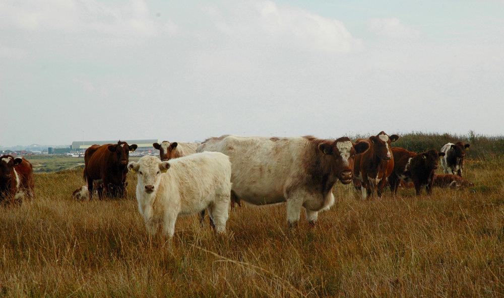 16Bodior-cows-and-calves-2.jpg
