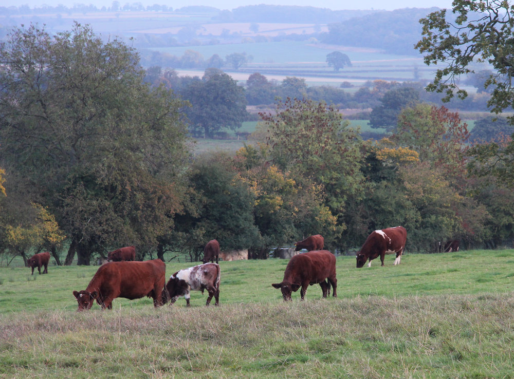 The herd grazing at Throstle Nest
