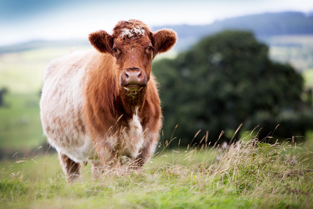 contact-beef-shorthorn-society.jpg