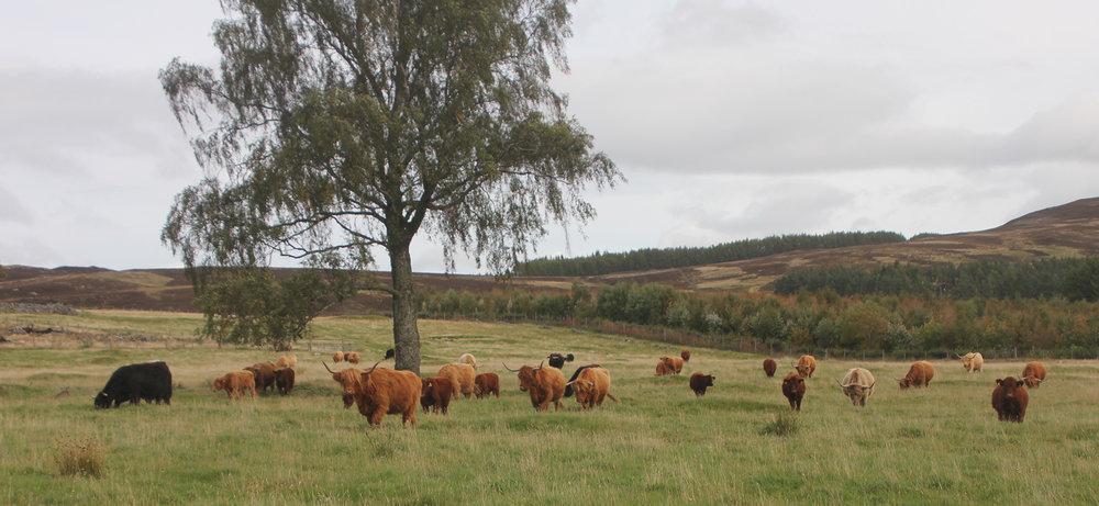 Team B, Highland Cows with their Beef Shorthorn cross calves